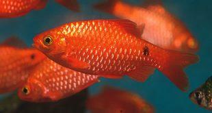 ماهی رزی بارب