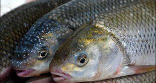ماهی سردآبی