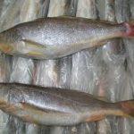 پرورش ماهی شوریده