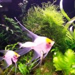 پرورش ماهی زینتی آنجل