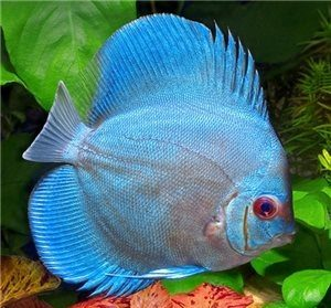 پرورش ماهی آکواریومی دیسکس