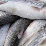پرورش ماهی سفید