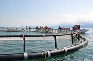 ماهی خاویار در قفس دریایی