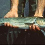 ماهی گرمابی شیربت
