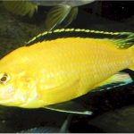 پرورش ماهی زینتی ماکرو