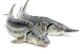 ماهی خاویار
