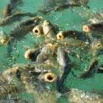 ماهی پرورشی سردابی