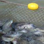 ماهی پرورشی گرمابی