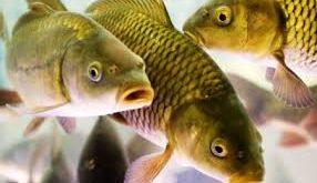 ماهی پرورشی خوزستان