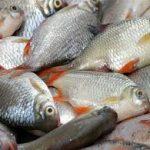 ماهی پرورشی شمال