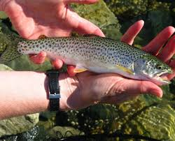 ماهی پرورشی کشور