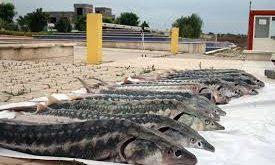 ماهی پرورشی خاویار