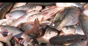 ماهی پرورشی کپور