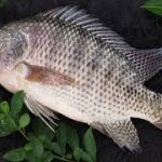 ماهی پرورشی تیلاپیا