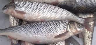 ماهی پرورشی سفید