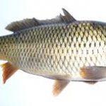 قیمت خرید ماهی حلوا