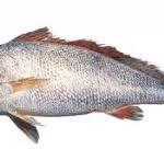 فروش اینترنتی ماهی حلوا