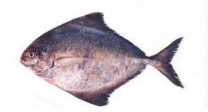 ماهی حلوا درجه یک