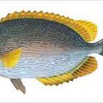 بازار خرید ماهی حلوا