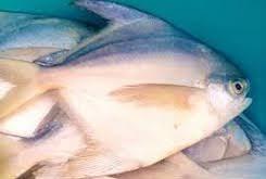 ماهی حلوا بحرینی