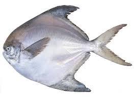 ماهی حلوا جنوب