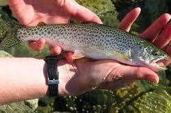 ماهی حلوا خالدار
